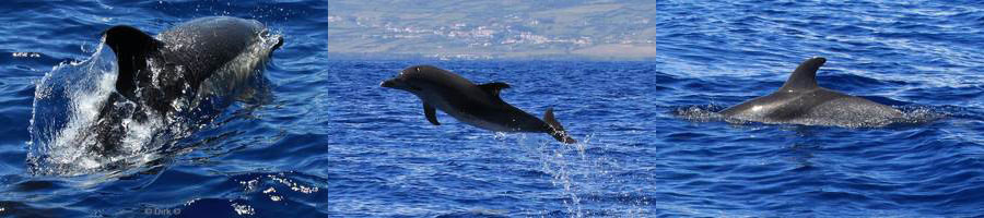 azores pico dolphins