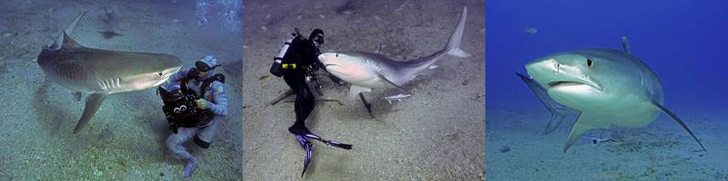 tiger, lemon sharks